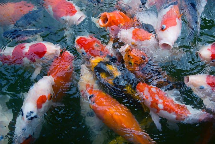 Hydroponics, Aquaponics And Fish For Food