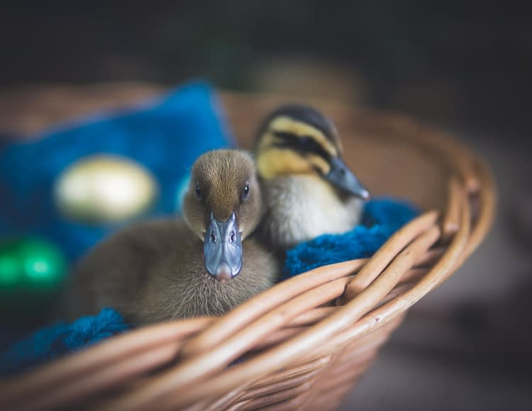 Raising Ducks instead of chickens