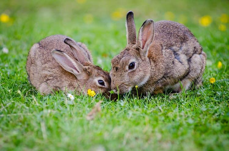 Raising Rabbits For Food