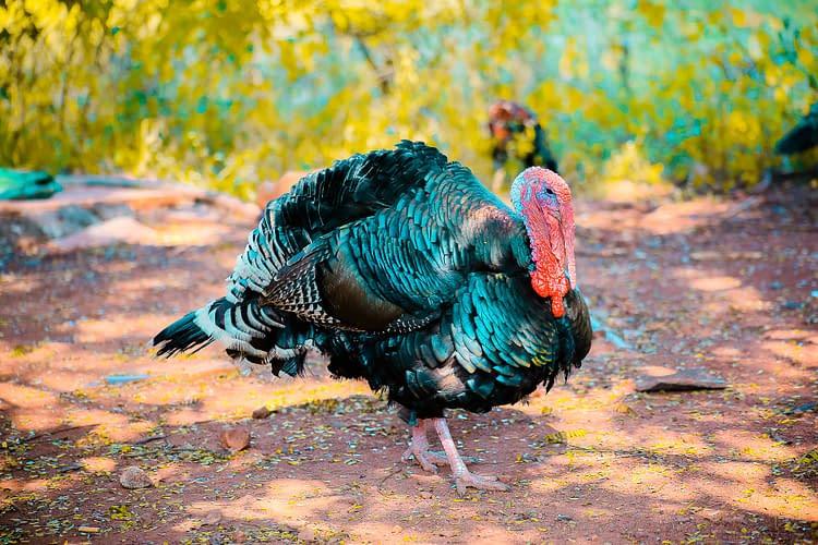 raising turkeys for christmas
